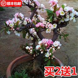阳台花卉室内庭院盆栽海棠花苗常青树苗盆景植物四季开花玫瑰绿植