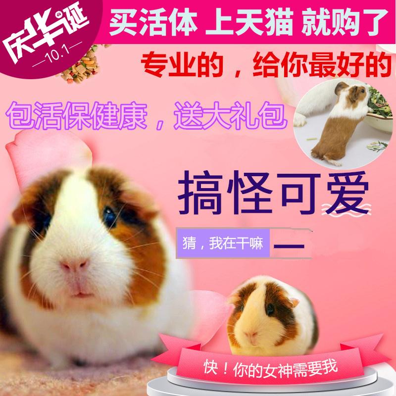 荷兰猪活体宠物活物自家繁殖短逆小宠豚鼠宝宝天竺鼠健康包活包邮
