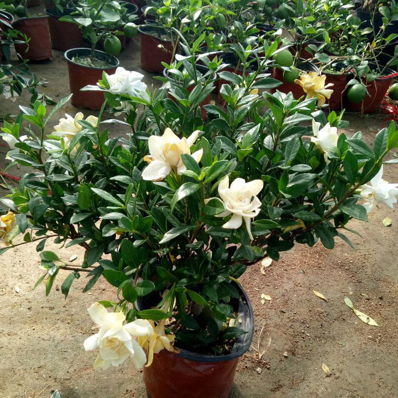 小叶栀子花盆栽花苗 牡丹栀子花四季开花浓香型绿植阳台室内花卉图片