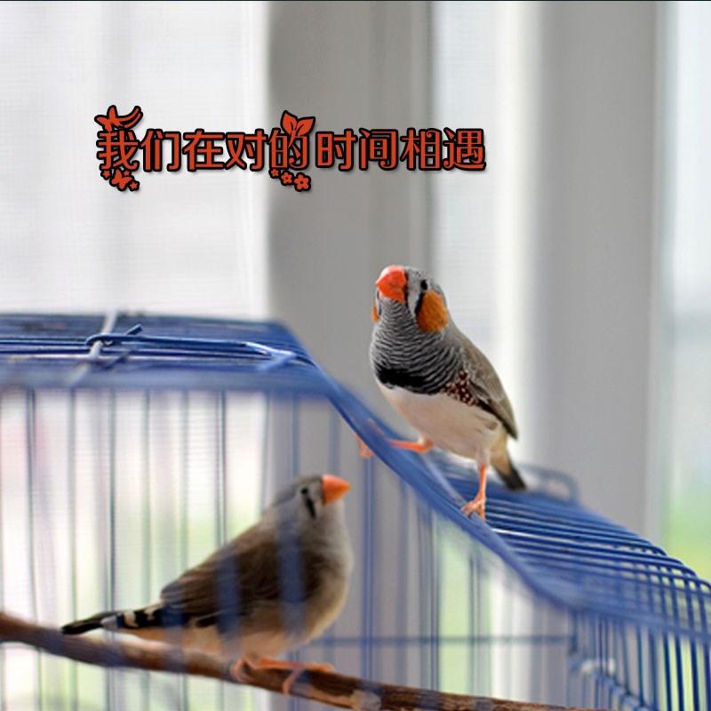 雏鸟活体鸟活体宠物鸟手养亲人雏鸟手玩鸟活体多省包邮送豪礼