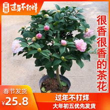 Camellia potted plants with buds, tree seedlings, fragrant flowers, cold tolerance in winter, Camellia blooming continuously in four seasons