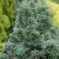 柏类树苗 常绿灌木虹越皮球柏香柏金光绒柏洒银柏蓝色波尔瓦