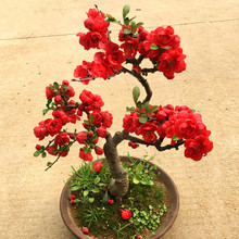 Begonia flower seedling, simple heart, wintersweet bonsai flower, old pile, red plum, green plum, bonsai balcony plant, cherry blossom and plum tree seedling