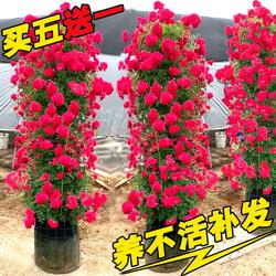 红木香花四季爬藤植物蔷薇玫瑰月季花苗盆栽攀爬花卉黄木香七里香