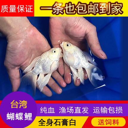 台湾蝴蝶鲤石膏白冷水鱼苗纯种大鳍大尾短身贵妃球体锦鲤鱼苗活体