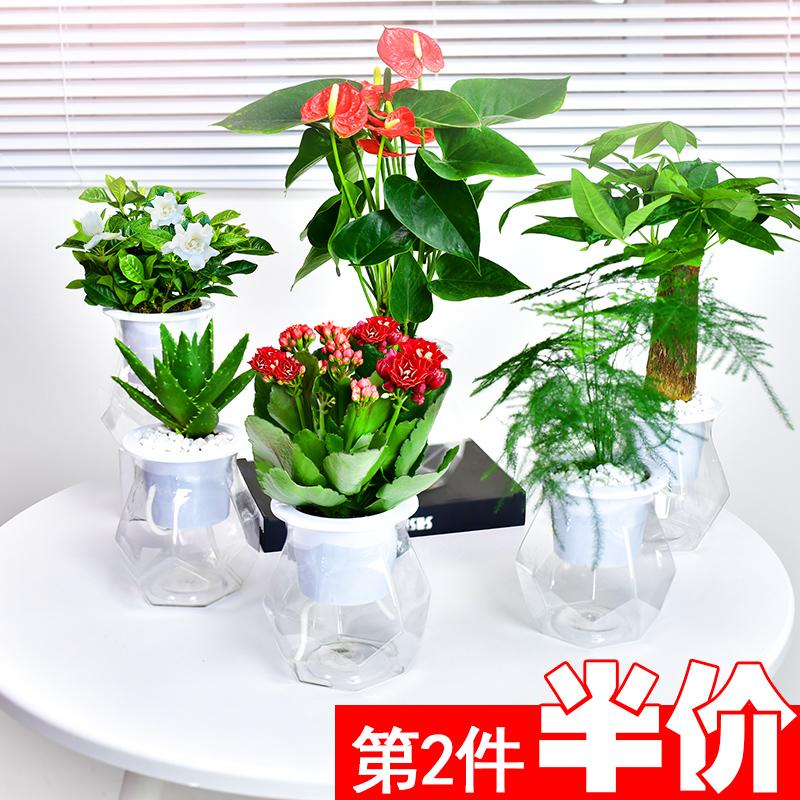 发财树芦荟栀子花盆栽小水培绿萝16.00元包邮