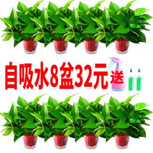 绿萝盆栽室内净化空气吸除甲醛花卉吊兰办公室绿植物水培长藤绿箩