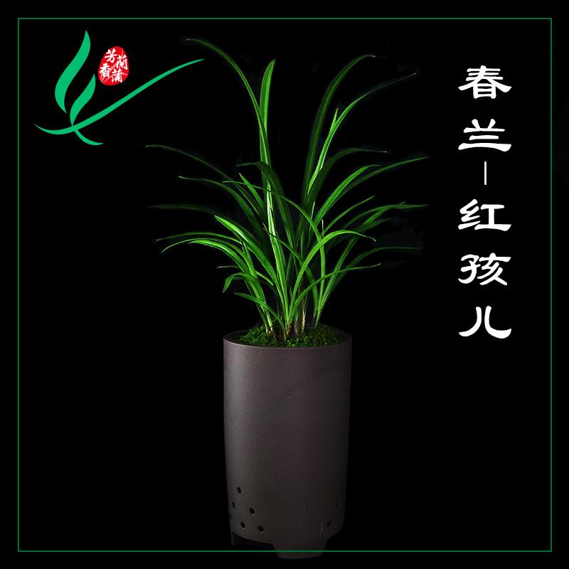 福建南靖兰花春兰红孩儿浓香花卉景栽盆土绿植带植物名贵苗花苞兰