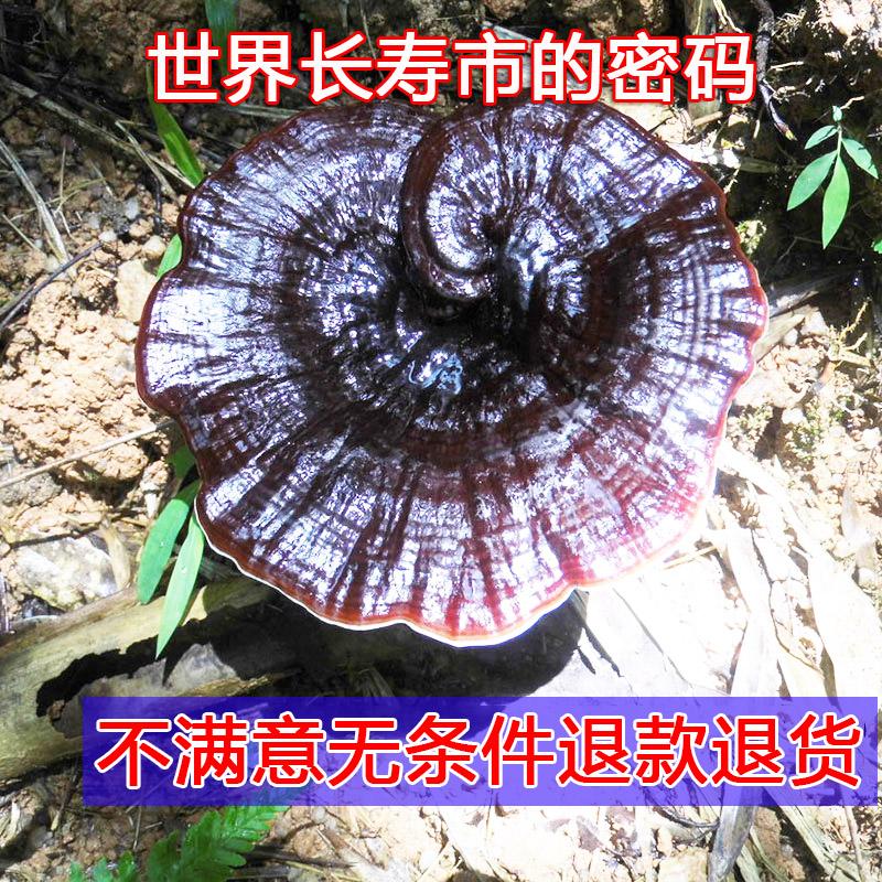 Гуанси глубоко гора дикий черный дух древесный гриб выбор целую филиал лес древесный гриб натуральные дикий специальная марка фиолетовый дух древесный гриб нарезанный 250g