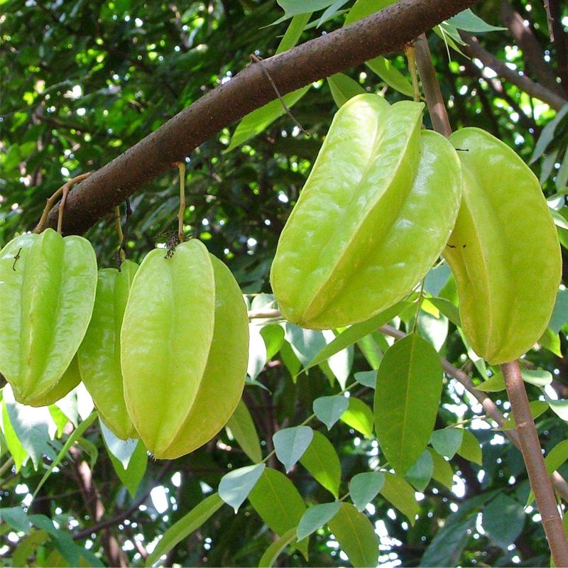 台湾蜜丝杨桃苗 马来西亚 水果嫁接果树苗可盆栽庭院植物行道树木