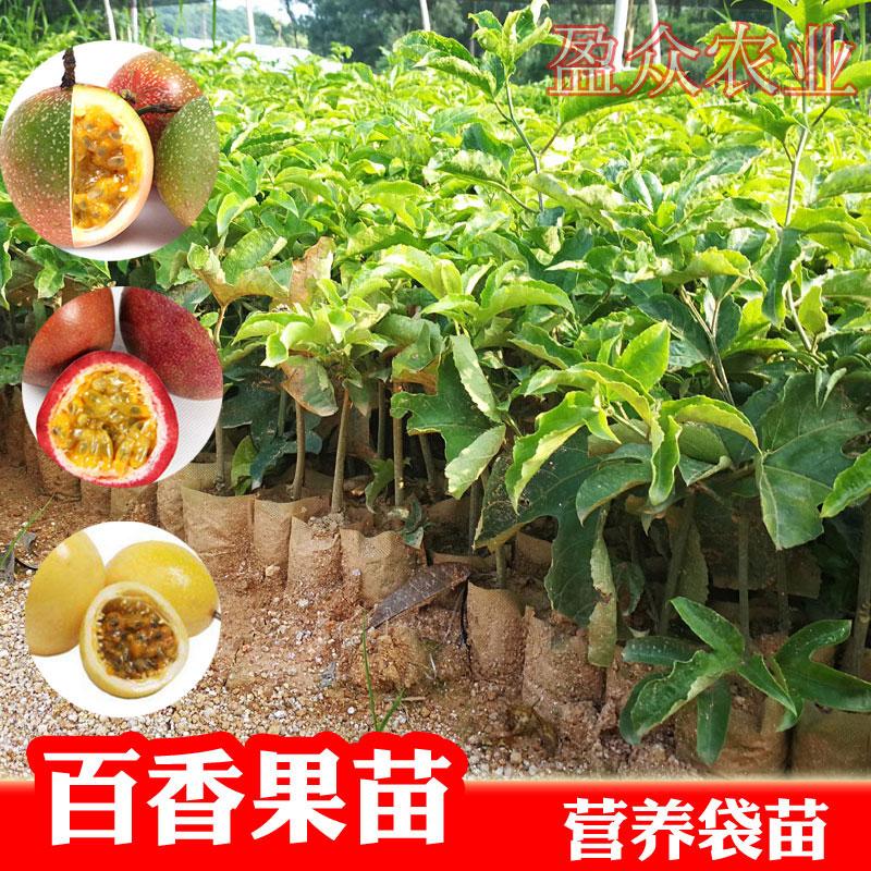百香果苗紫香一号西番莲四季台农黄金百香果当年结果荔枝味百香果
