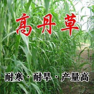 进口高丹草牧草种子南方北方多年生四季 高产猪牛羊鸡鸭鹅鱼兔草籽