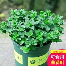 两盆忒便宜薄荷盆栽可食用柠檬薄荷叶香草苗迷迭香驱蚊草植物