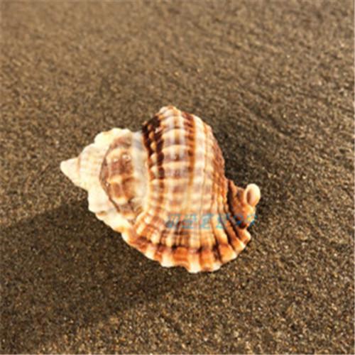 天然海螺贝壳4-6CM斑纹纽法螺鱼缸水族造景地台装饰摆件拍摄道具 Изображение 1