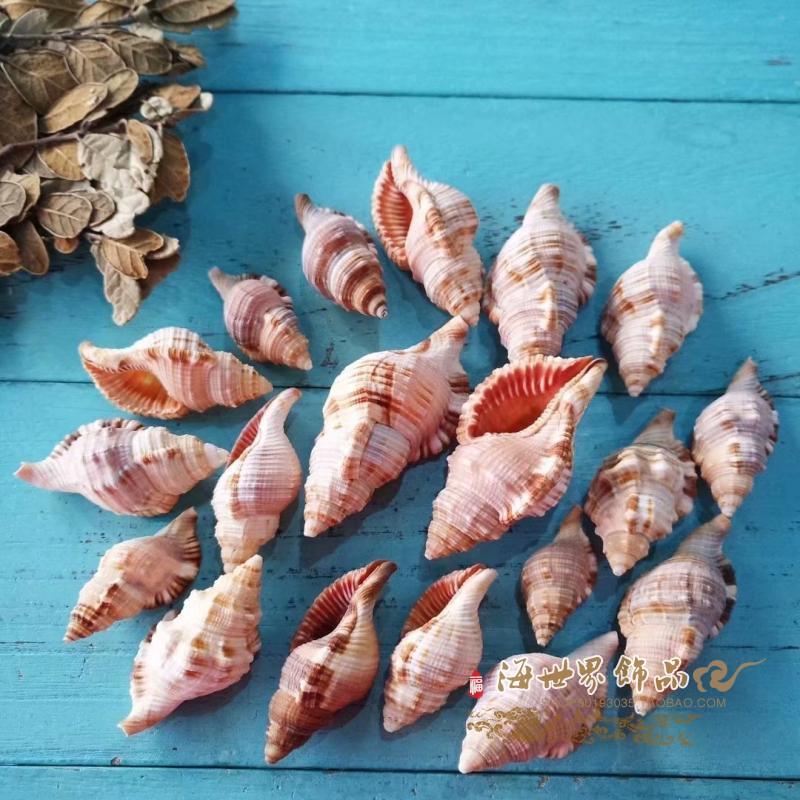 天然大西洋扭万象法螺贝壳海螺寄居蟹壳鱼缸水族造景地台装饰收藏 Изображение 1