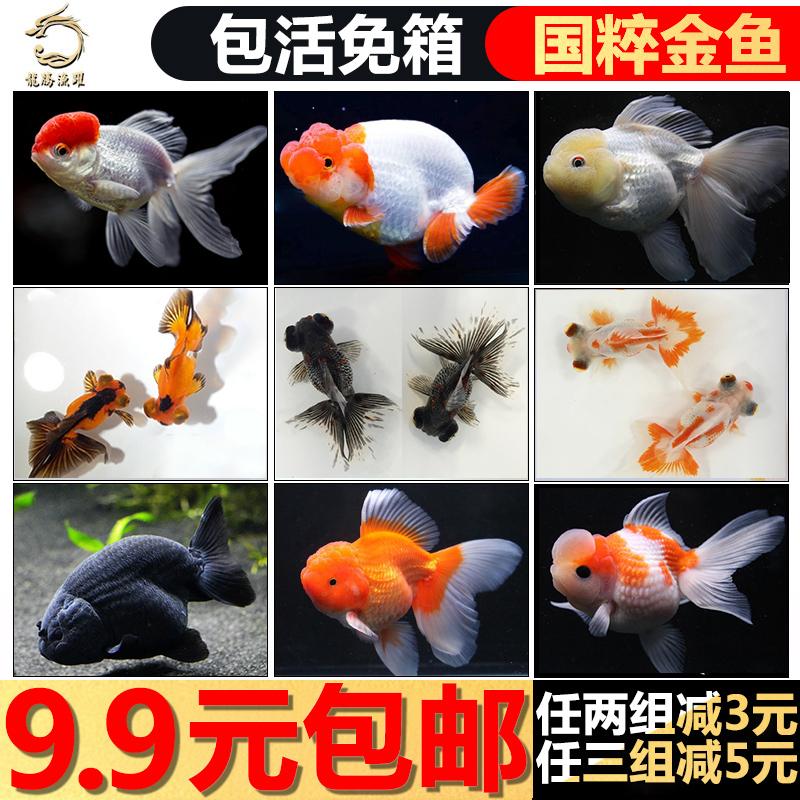 金鱼活体小金鱼淡水鱼锦鲤鱼小型金鱼苗宠物冷水鱼兰寿观赏鱼活体