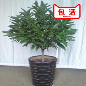 盆栽绿植 平安树盆栽 发财树盆栽 幸福树 红豆杉盆栽除装修污染