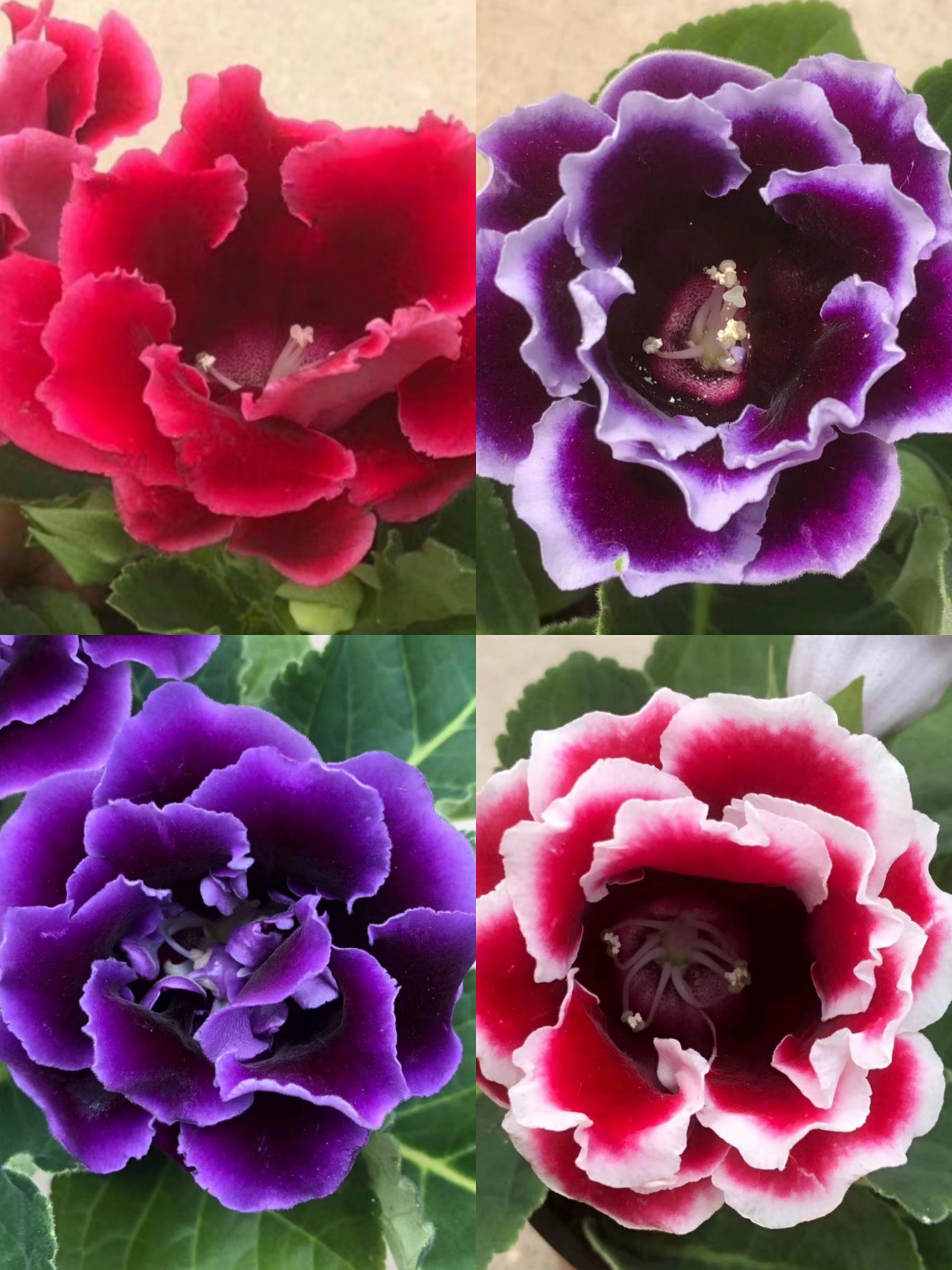重瓣大岩桐盆栽富贵芙蓉花苗室内观花植物带花发货四季开花包邮
