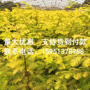 正宗金叶水杉小苗 黄金杉树苗 三季黄叶行道树 工程用水杉彩叶树
