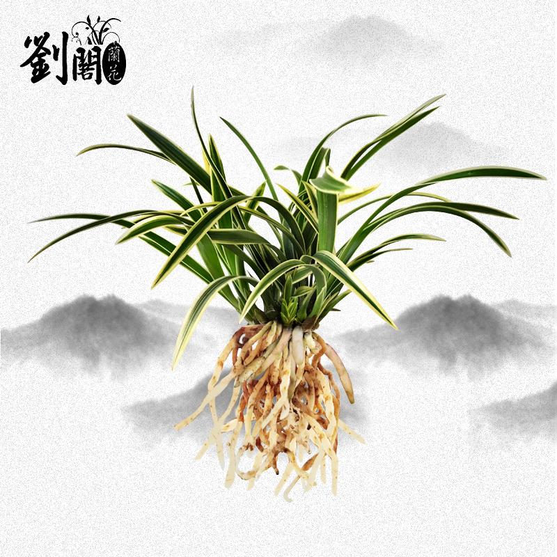 南靖刘阁兰花苗 建兰矮种金边鹤艺 天虹冠 室内花卉 夏带花苞出售