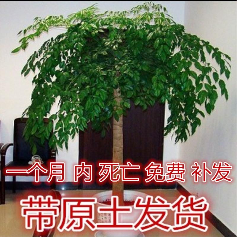 幸福树盆栽大客厅绿植
