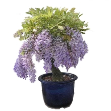 Wisteria seedlings, saplings, climbing vines, roof potted plants, garden walls, yard climbing plants, climbing vines, wisteria potted plants