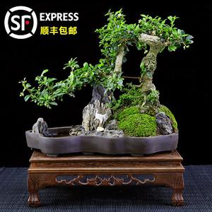小叶福建茶悬崖式树桩山水石造型大