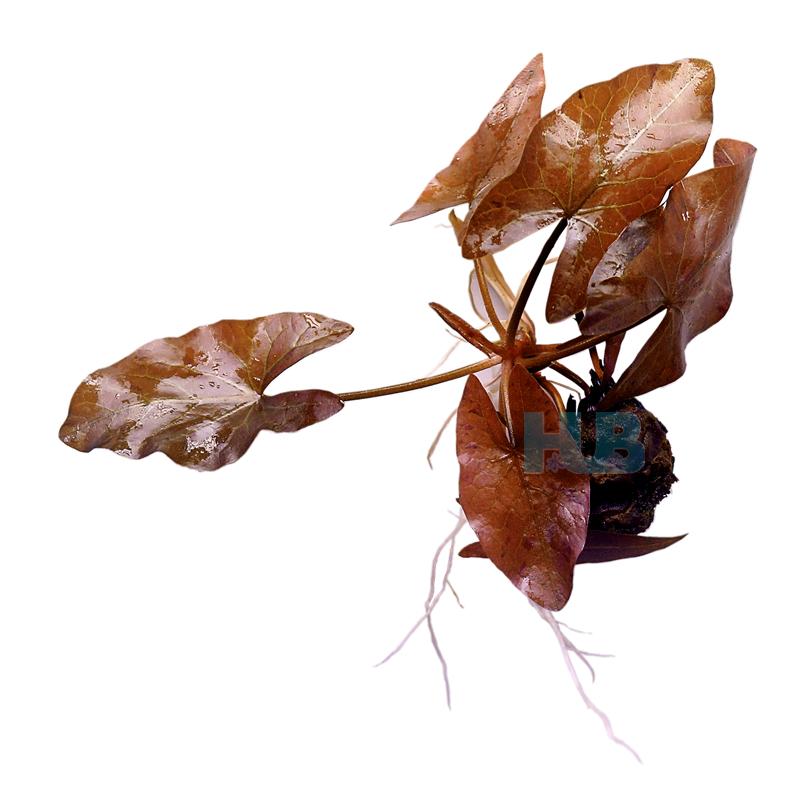 HUB 水族 红三角芋 红虎斑睡莲 中前景点缀淡水真水草