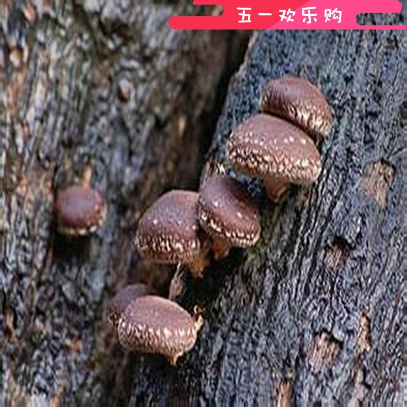 椴木香菇菌种打孔锤 木耳菌种打孔锤 双头打孔器-tmall.com锟斤拷