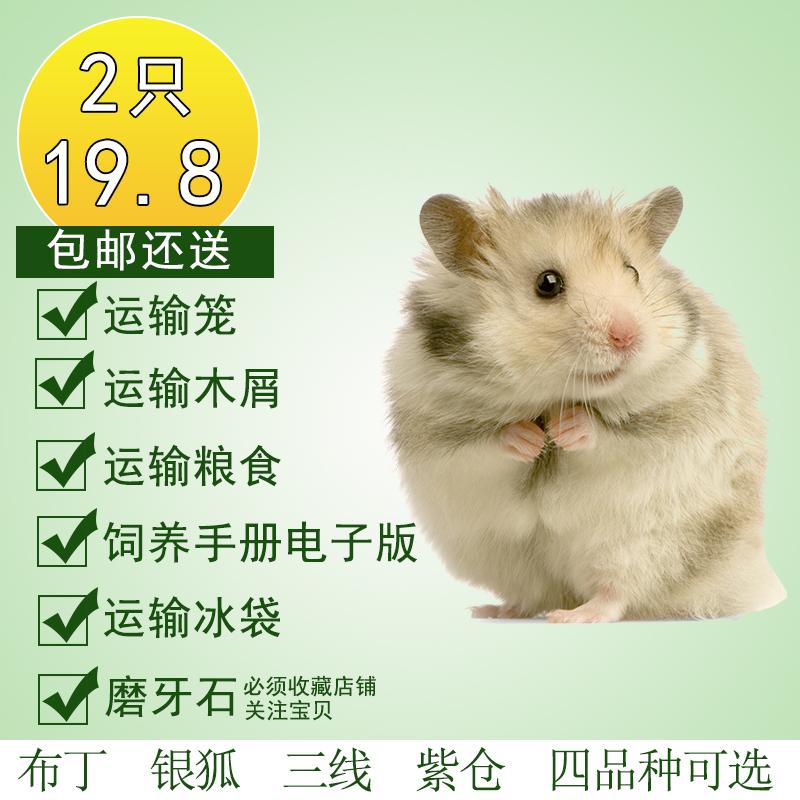 买1送6 仓鼠活体宠物活体宝宝迷你家养一对 布丁银狐紫仓三线包邮