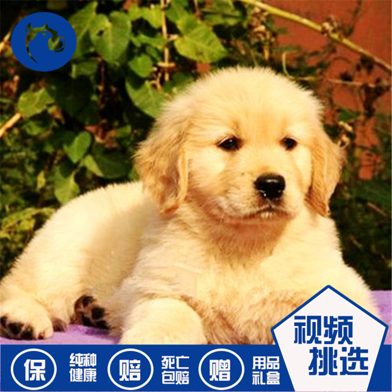 Sale of pure golden retriever puppies, live pets, dogs, double blooded retrievers, guide dogs, hounds, domesticated and gentle