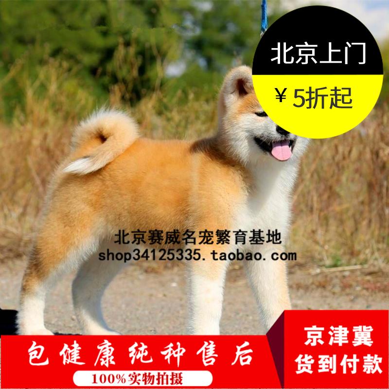 纯种赛级血统秋田幼犬出售日本柴犬家养活体宠物狗狗?#26412;?#21487;自提