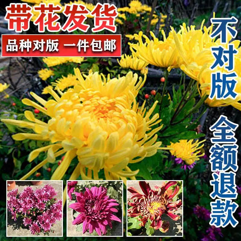 菊花苗盆栽带花苞四季开花乒乓球菊