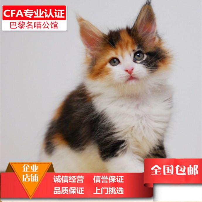 纯种健康缅因猫活体幼猫可爱粘人宠物猫大型花色缅因俄罗斯巨型猫图片