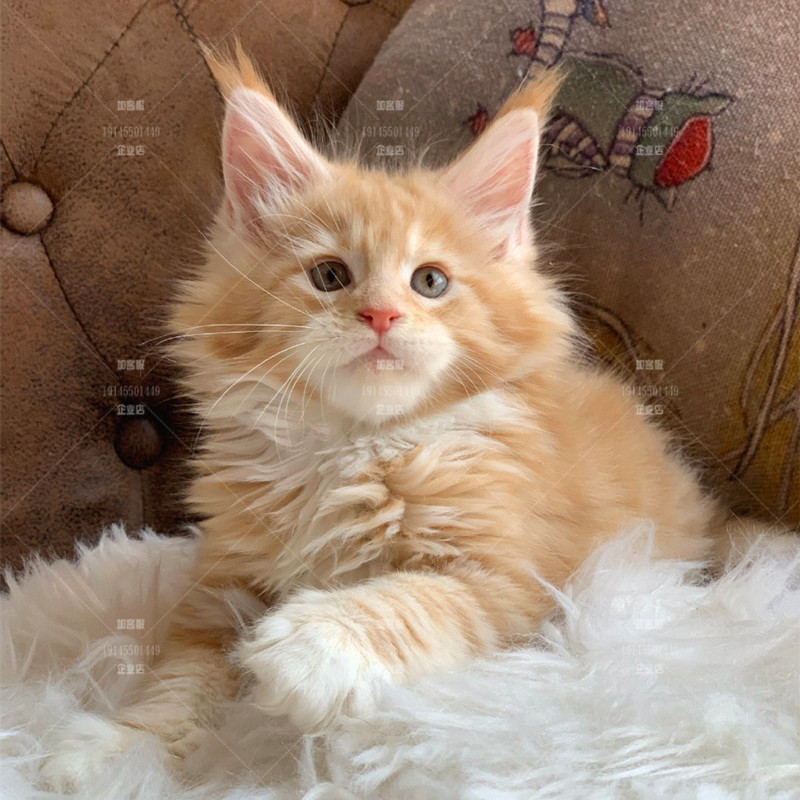 Purebred healthy red tiger spot Maine Coon kitten can be delivered to your cats door