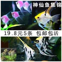 神仙鱼活体套餐淡水蓝魔熊猫雪燕观赏鱼金头太阳热带三色墨燕包活