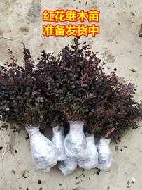 庭院工程绿化苗木红继木红檵木红花继木小苗四季长清绿篱色块包邮
