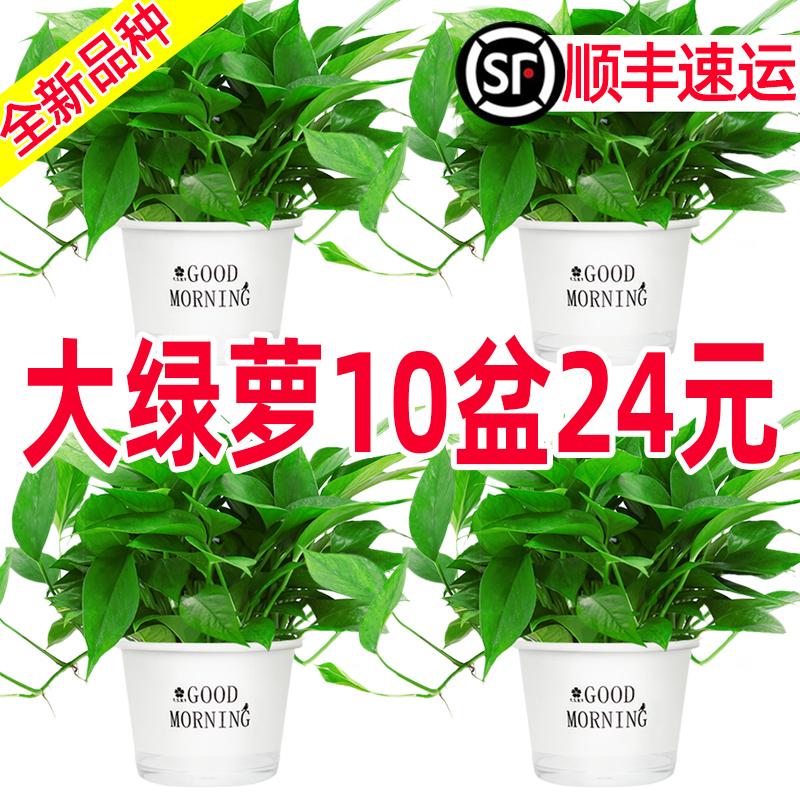 绿萝盆栽花卉植物室内吸除甲醛净化空气长藤垂吊兰大绿箩水培绿植