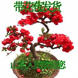 老王苗木日本海棠花苗长寿冠盆景树桩盆栽西府海棠树苗带花苞发货