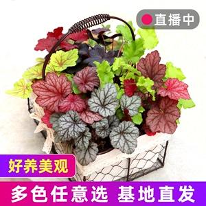 矾根植物 盆栽大苗组合套餐室内耐寒四季庭院阳台观叶花卉绿植