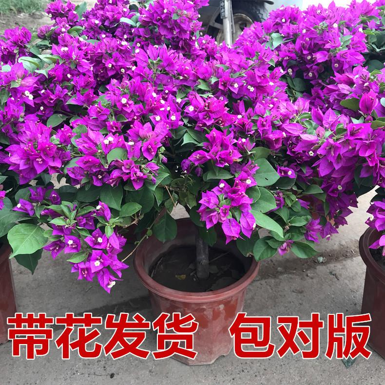 巴西三角梅盆栽爬藤老桩大苗多色重瓣植物庭院四季带花发货阳台