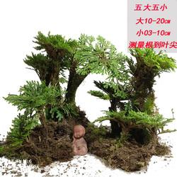 卷柏盆栽九死还魂草老桩假山吸水石蕨类植物见水还阳四季常青盆景