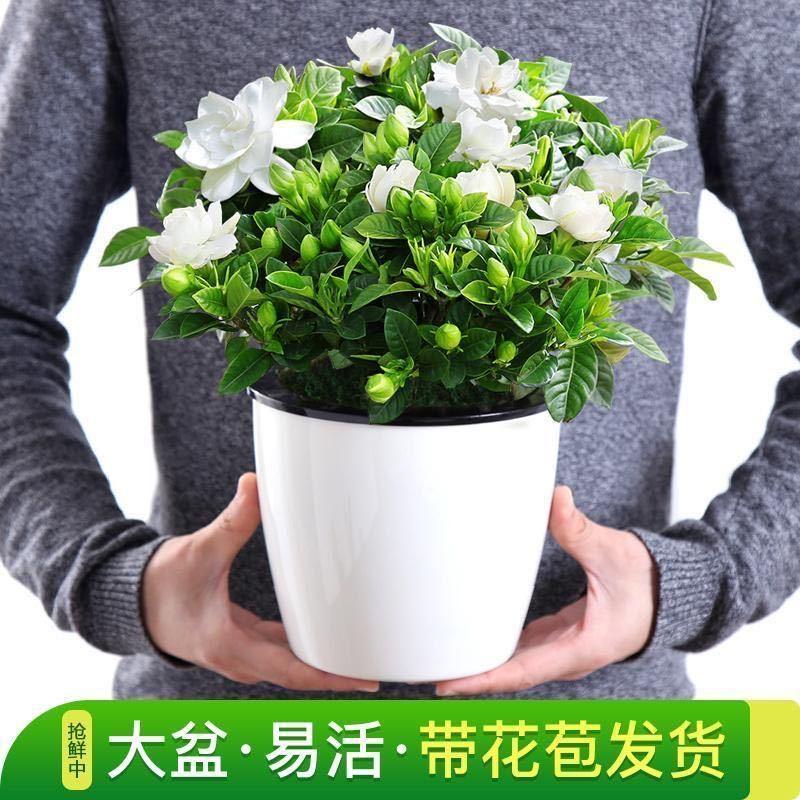 【买一盆送一盆带花苞发货】浓香栀子花盆栽室内植物桌面花卉绿植