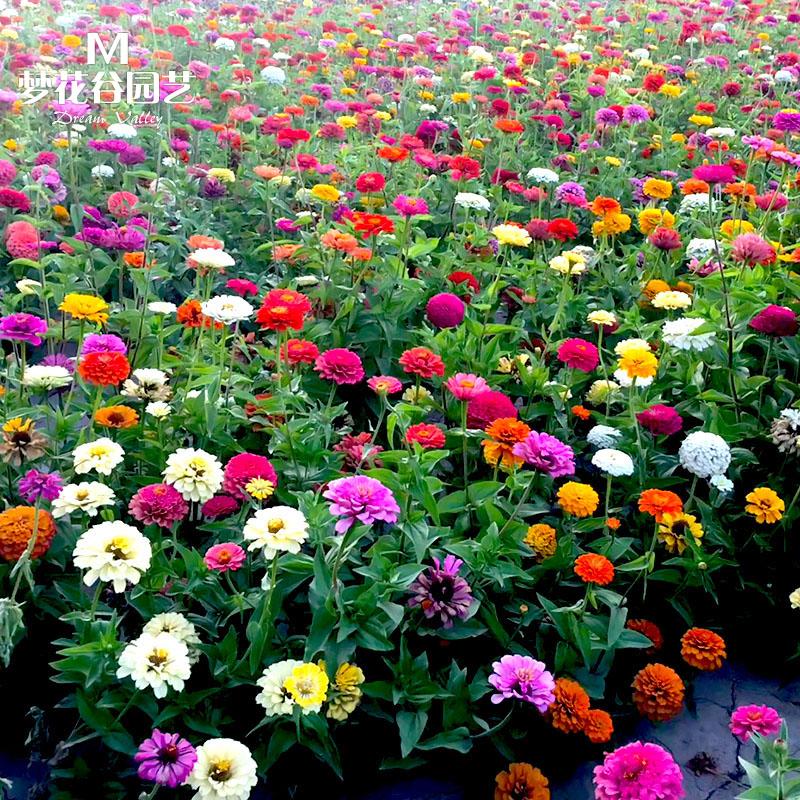 百日草种子四季开花室外庭院绿化花种阳台花卉盆栽花种籽子百日菊