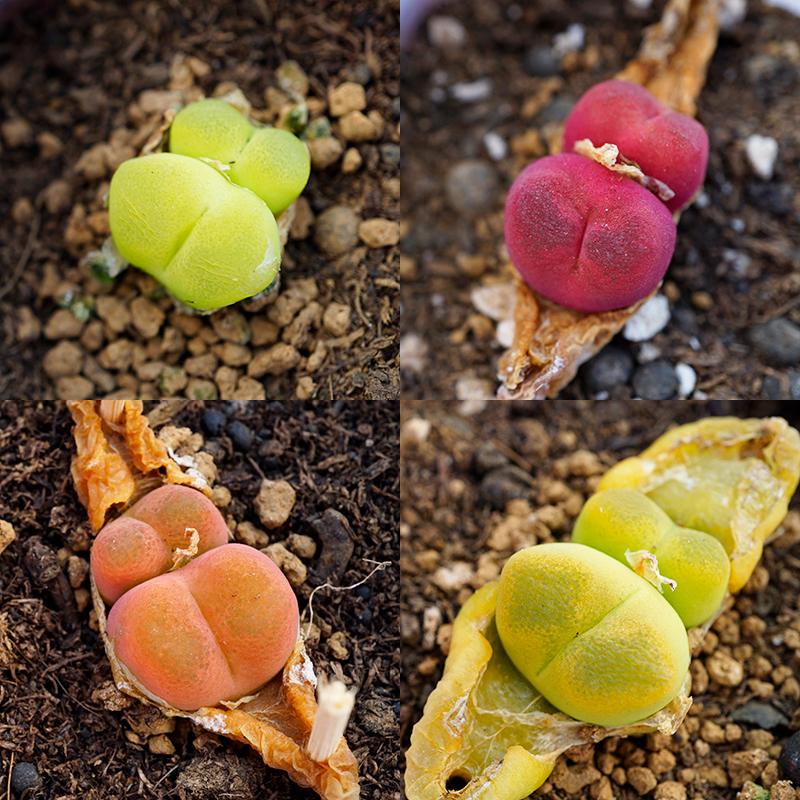 蟠桃の母本水密桃の毛のハンニの多頭の群生の毛の汗の尼の馬の哈尼の肉の円錐のアンズの多い肉の植物