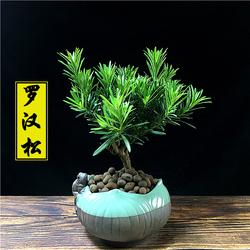 罗汉松盆景树苗老桩植物盆栽室内客厅办公室绿植好养活四季常青