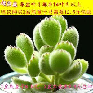 多肉植物组合盆栽熊童子白熊白锦桃蛋绿植花卉室内防辐射多肉公室