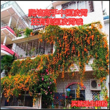 Chinese and American Lingxiao flower seedling climbing vine plant garden seedling Wisteria flower seedling climbing mountain tiger climbing flower