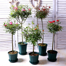 Tree Rose Flower Seedling Courtyard Green Planting Flower Planting Tree Rose Flower Seedling Balcony Flower Pot Planting