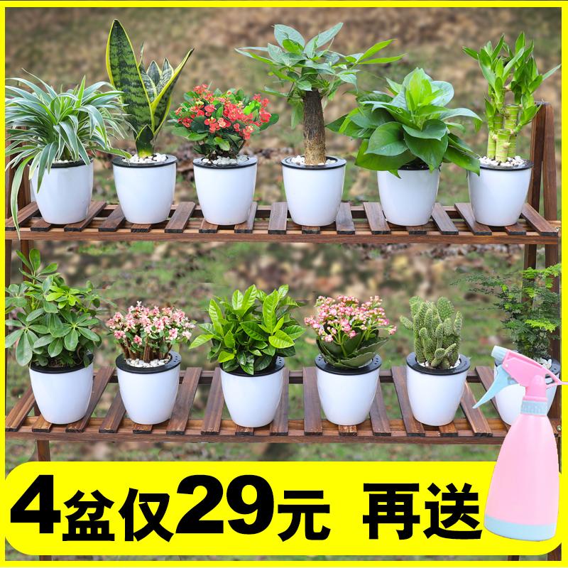 盆栽室内好养净化空气去甲醛发财树10月27日最新优惠